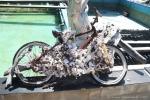 vélo huitrier (2)